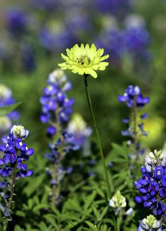 A Texas dandelion pokes its head above surrounding bluebonnets.