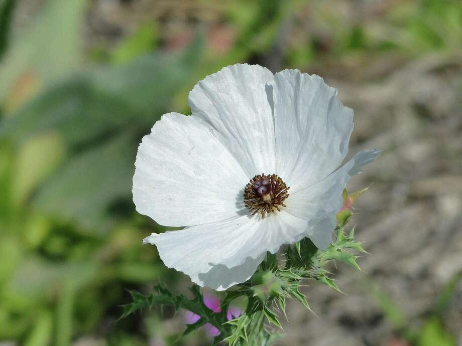 White prickly poppy, March 2013, Atascosa County Photo: Tracy Hobson Lehmann