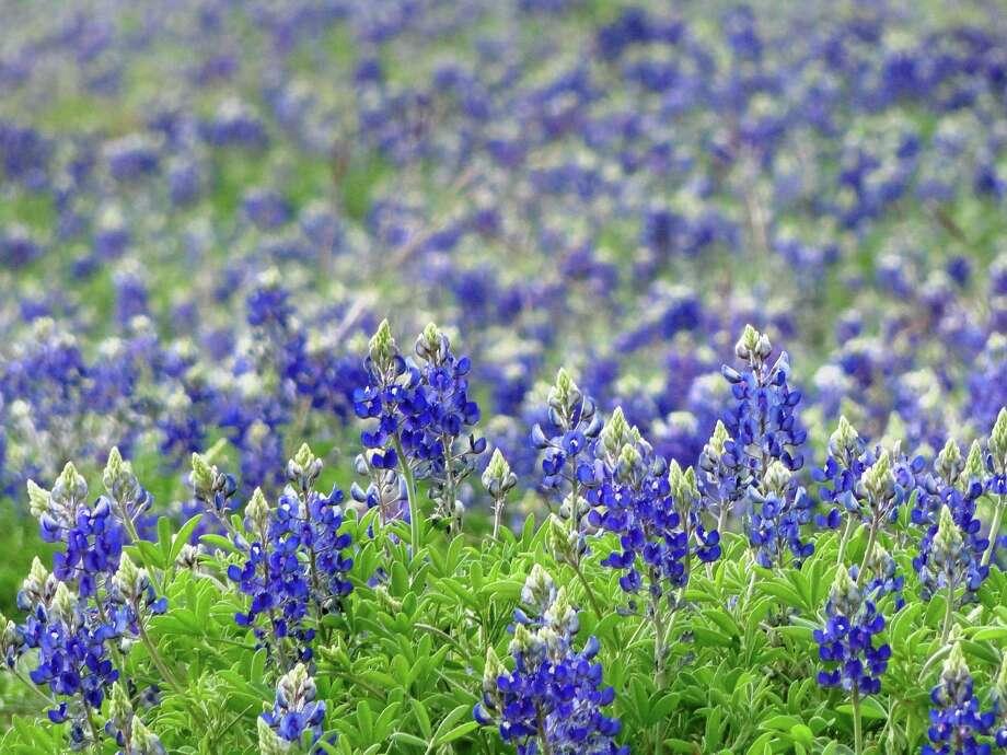 Bluebonnet field, March 2013, San Antonio Photo: Tracy Hobson Lehmann