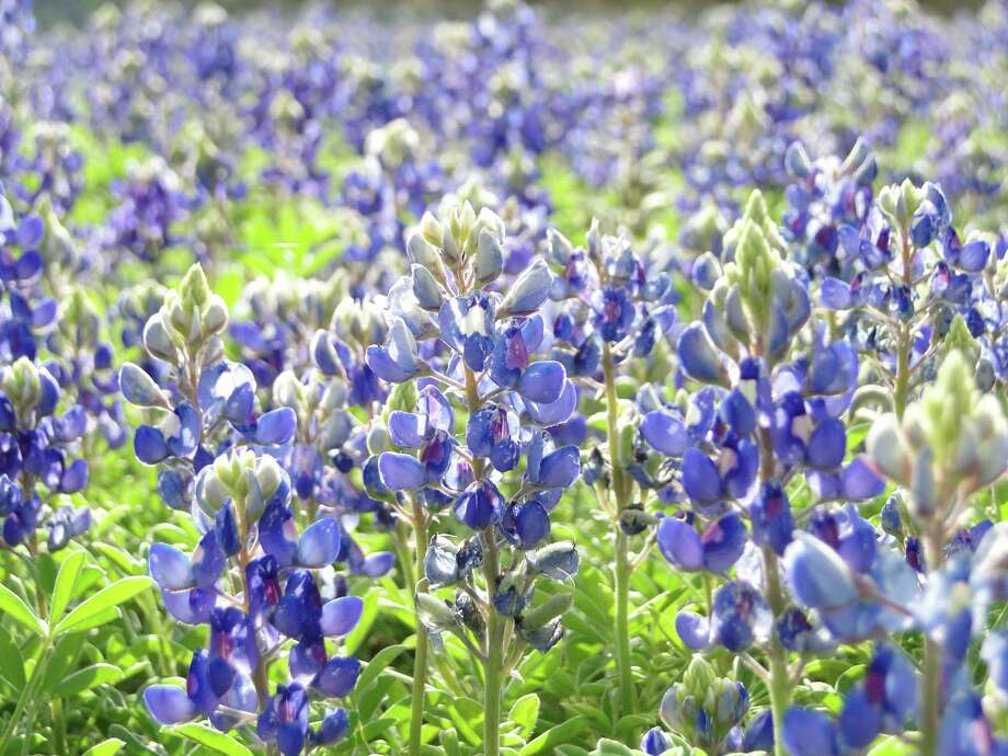 Bluebonnet field, March 2013, San Antonio Photo: Tracy Hobson Lehmann