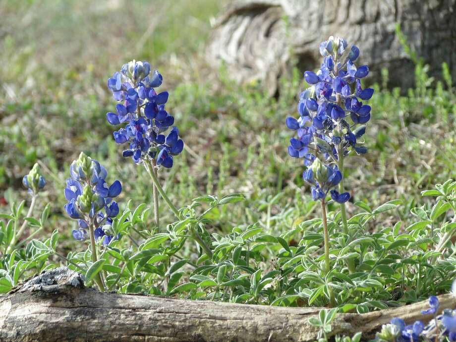 Bluebonnets, March 2013, San Antonio, Photo: Tracy Hobson Lehmann