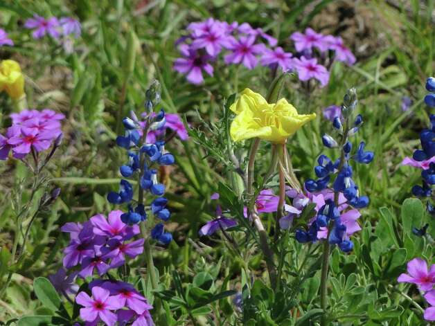 Bluebonnets, phlox and buttercup, March 2013, Atascosa County Photo: Tracy Hobson Lehmann