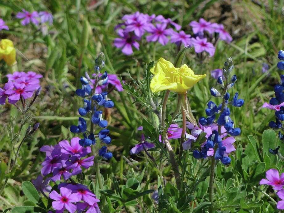Bluebonnets, phlox and buttercup, March 2013, Atascosa County Photo: Tracy Hobson Lehmann