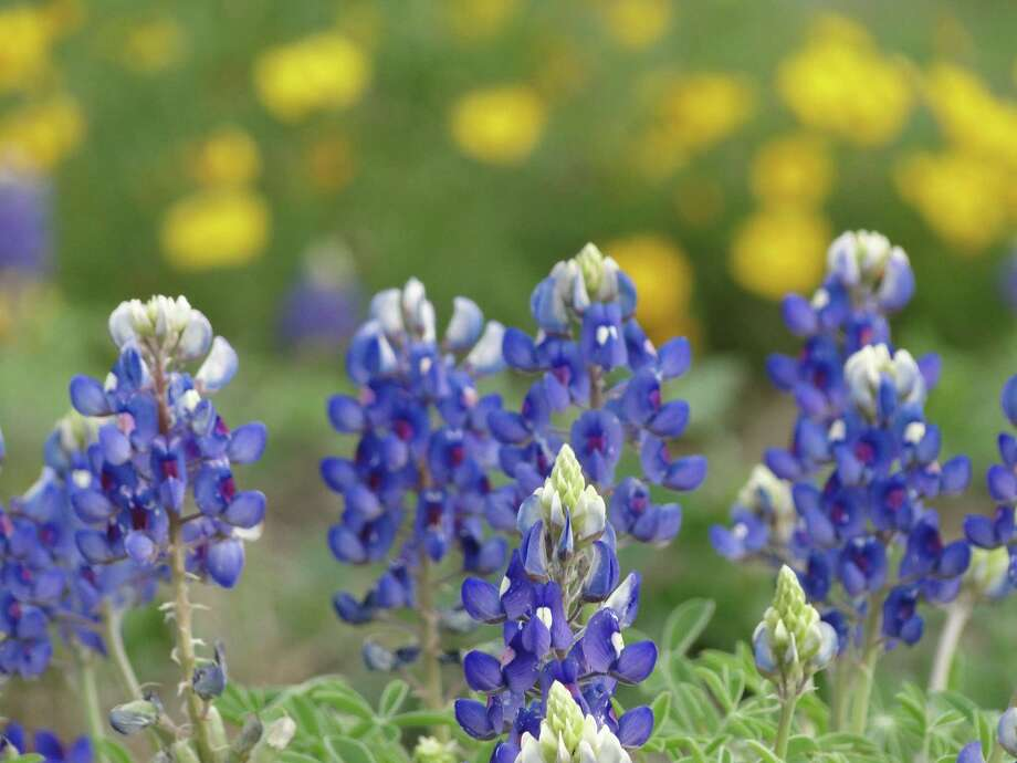 Bluebonnets and thelesperma, March 2013, New Braunfels Photo: Express-News File Photo, Tracy Hobson Lehmann