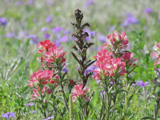 Indian paintbrush and phlox, March 2013, Wilson County Photo: Tracy Hobson Lehmann