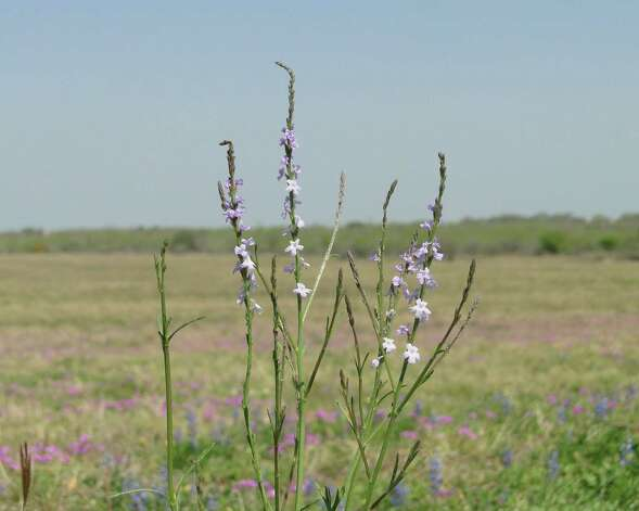 Texas vervain, March 2013, Atascosa County Photo: Tracy Hobson Lehmann