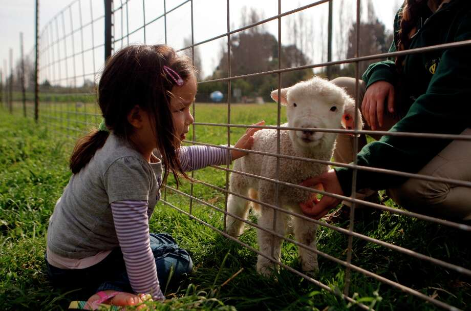 Anya Ma pets a baby lamb at Ardenwood Farm on March 14th, 2013 in Fremont, Calif.  Ardenwood Farm in Fremont has had biggest-ever lamb season. Photo: Jessica Olthof, The Chronicle / ONLINE_YES
