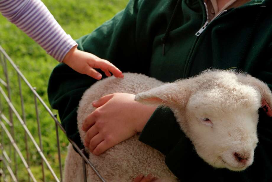 Anya Ma pets a baby lamb at Ardenwood Farm on March 14th, 2013 in Fremont, Calif.  Ardenwood Farm in Fremont has had biggest-ever lamb season. There are about 15 of them. Photo: Jessica Olthof, The Chronicle / ONLINE_YES