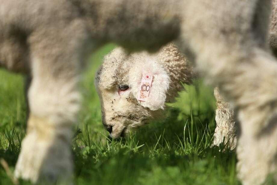 A baby lamb eating grass at Ardenwood Farm on March 14th, 2013 in Fremont, Calif.  Ardenwood Farm in Fremont has had biggest-ever lamb season. Photo: Jessica Olthof, The Chronicle / ONLINE_YES