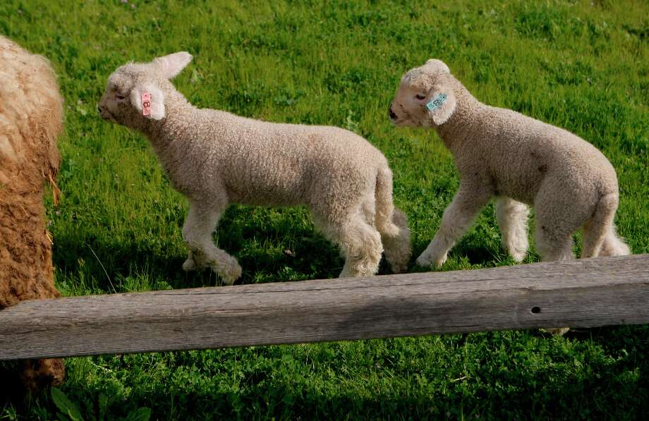 Two baby lambs follow their mother at Ardenwood Farm on March 14th, 2013 in Fremont, Calif.  Ardenwood Farm in Fremont has had biggest-ever lamb season. Photo: Jessica Olthof, The Chronicle / ONLINE_YES