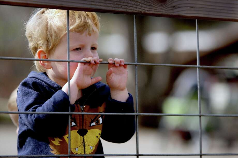 Eli Cushna, 3, looks at a baby lamb at Ardenwood Farm. Photo: Jessica Olthof, The Chronicle / ONLINE_YES