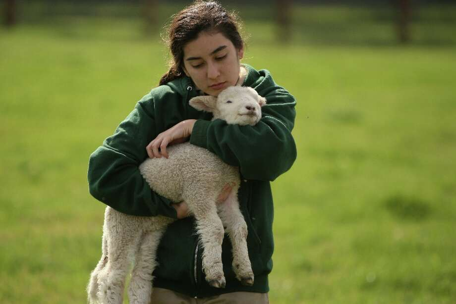 Interpretive student aid, Kelsey Jorgenson, carries a baby lamb at Ardenwood Farm on March 14th, 2013 in Fremont, Calif. Photo: Jessica Olthof, The Chronicle / ONLINE_YES