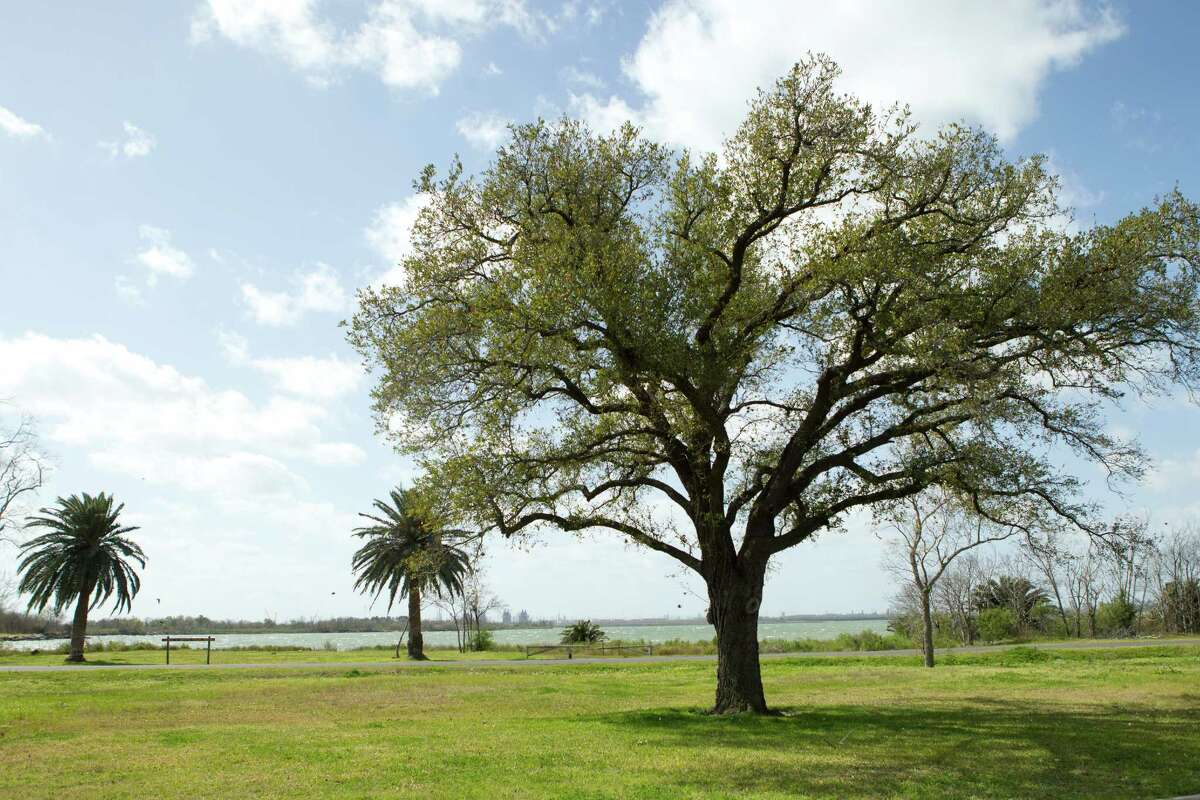 This pair of palm trees once marked the elegant Brownwood house of Eddie V. Gray, for whom the nearby Eddie V. Gray Wetlands Center is named. ( Brett Coomer / Houston Chronicle )