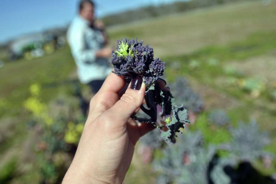This purple broccoli tasted so sweet, it was like candy - we can't wait for Rachel to bring it to the Beaumont Farmer's Market. Beth Rankin/cat5 Photo: Beth Rankin / Beth Rankin