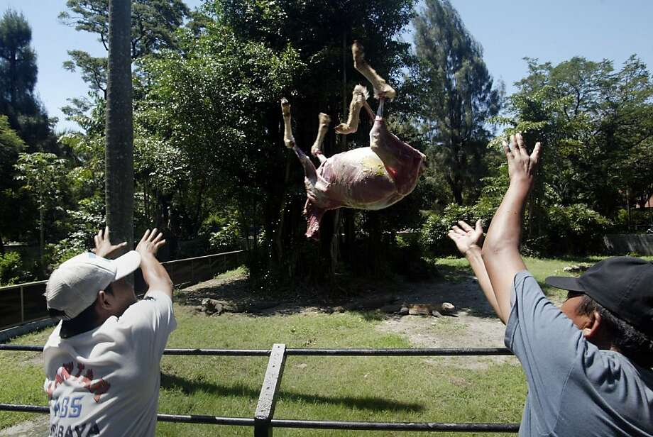 Dinner's ready!Surabaya Zoo keepers heave a freshly killed goat into the Komodo dragon enclosure in Surabaya, Java. Five Komodos devoured the carcass in short order. Photo: Juni Kriswanto, AFP/Getty Images