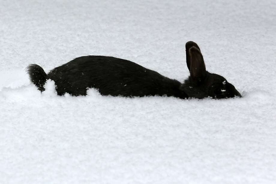 Here comes Peter Cottontail, snowplowing down the bunny trail. Hippity-hopping isn't easy in four inches of new snow. (Marloe, Germany.) Photo: Bernd Wustneck, AFP/Getty Images