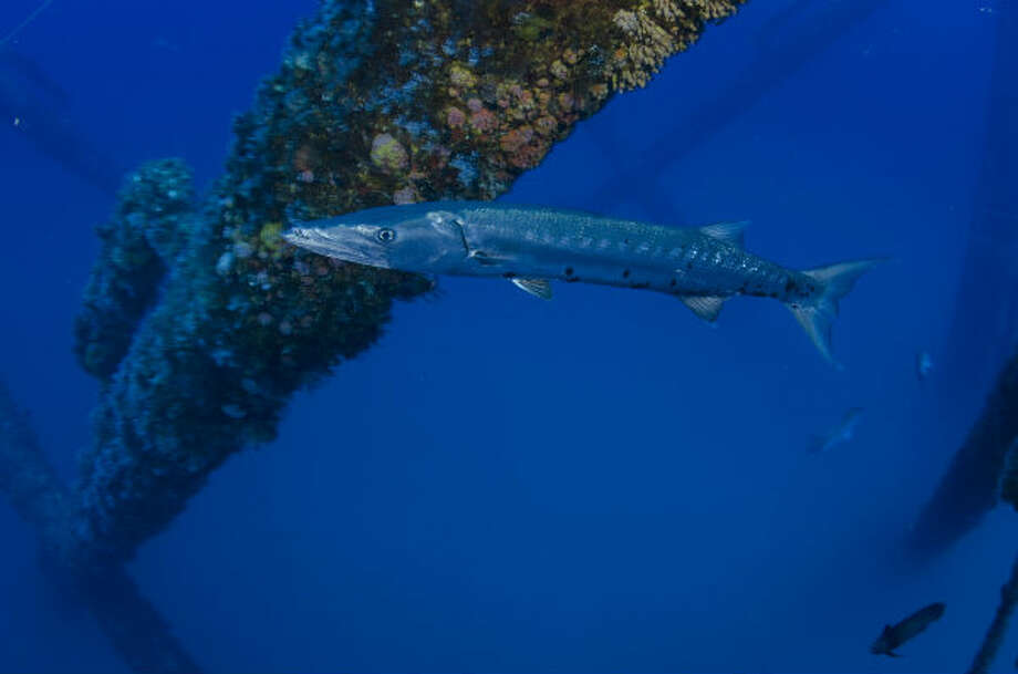 A barracuda swims by a rig that has been made into an artificial reef in the Gulf of Mexico.