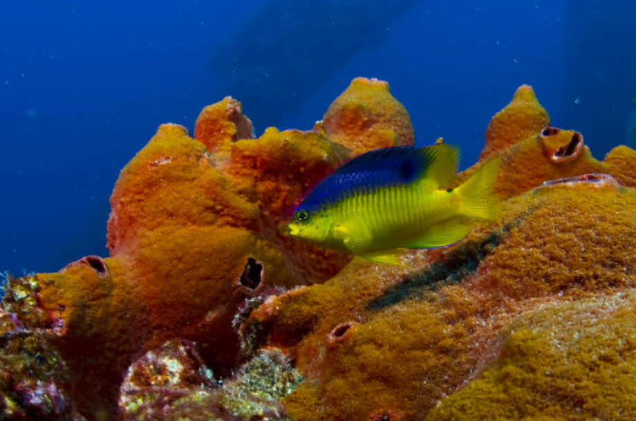 A cocoa damselfish swims by a decommissioned rig that has become and artificial reef in the Gulf of Mexico.