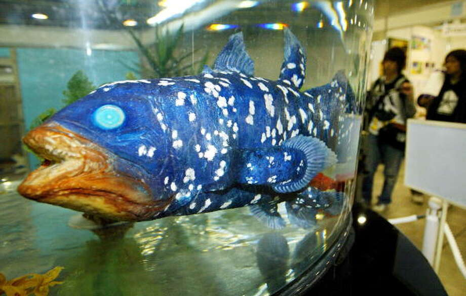"A coelacanth-shaped robot developed by Japan's Ryomei Engineering Co. Ltd. ""swims"" in a fish tank during the ""International Robot Fair 2004"" in Kitakyushu, Fukuoka Prefecture, 26 February 2004. The 83-centimeter-long robot fish can swim at a speed of 15 centimeters per second for 30 minutes by fully charged battery. The company rents the robot, with a set of necessary equipment including a water tank and control devices, at a price of 100,000 yen (920 USD) per day.           AFP PHOTO/Toru YAMANAKA Photo: TORU YAMANAKA, Getty / 2004 AFP"