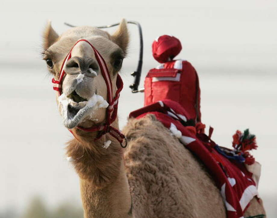 A camel foams at the mouth as he is whipped by a robot jockey during a race at Nad al-Sheba on December 6, 2006 in Dubai, United Arab Emirates. This is the first season that robotic jockeys have been used to race camels in Dubai. Controversially children from India were used to ride the camels in past seasons. These robot jockeys costing 15000GBP and up, were designed in Geneva and include shock absorbers and GPS tracking systems. The camel's owners control them from their speeding four wheel drives at the side of the track. Photo: Chris Jackson, Getty / 2006 Getty Images