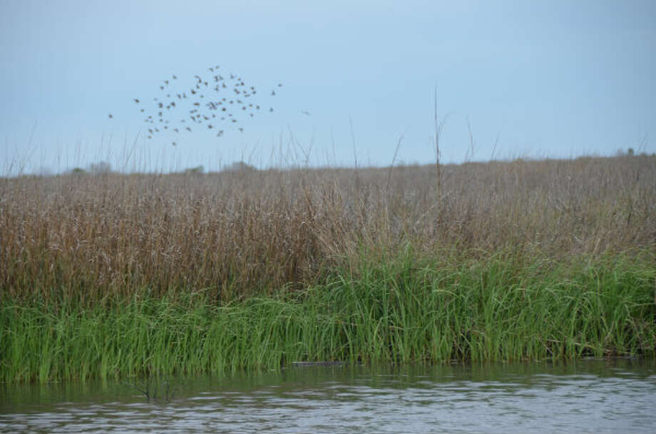 Airboats spur birds to fly among marsh at the Big Branch National Wildlife Refuge on Wednesday.