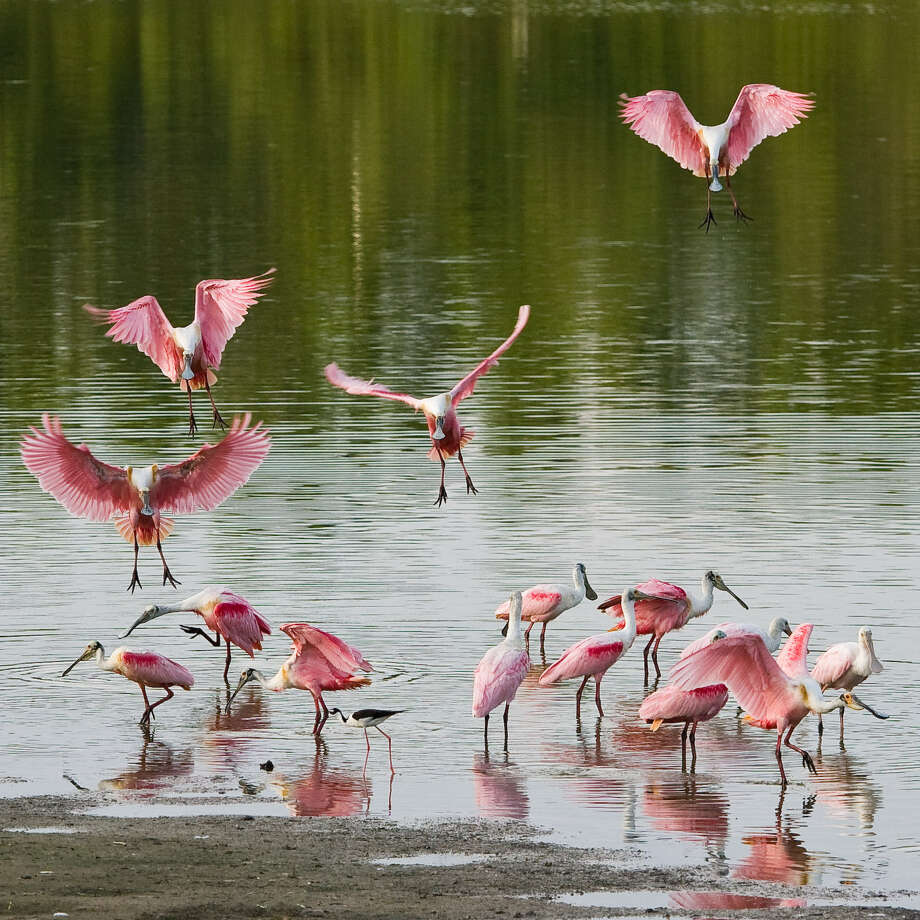 FeatherFest in Galveston is all about birds, such as these spoonbills. Photo: Courtesy Photo