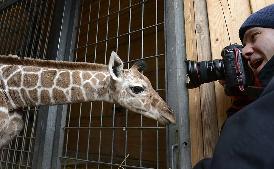 Better get the long lens out: The Hellabrunn Zoo's newest baby may be only a week old, but he (or she) already takes up the entire frame. (Munich.) Photo: Christof Stache, AFP/Getty Images