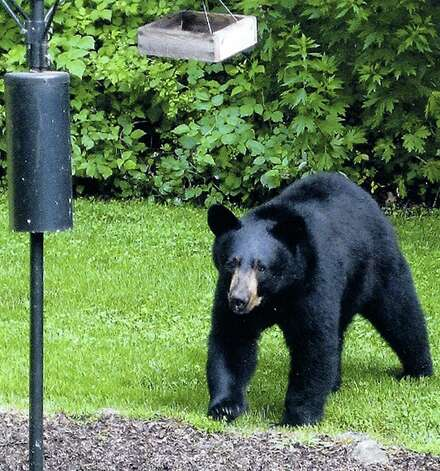 A black bear pays a casual visit to the home of Carol Moretz of Possum Lane in New Milford, in this file photo from June 11, 2010.    Courtesy of the Moretz family Photo: Contributed Photo\ Courtesy Of T, Contributed Photo / The News-Times Contributed