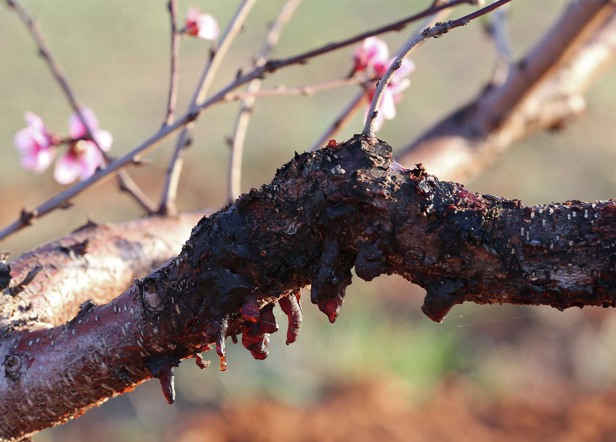 Freeze damage is seen on a branch of a blooming peach tree at the Studebaker Farm in Blumenthal, Texas, Monday, March 19, 2013. According to owner Russ Studebaker, the Hill Country peach crop should be a good one this year. Blumenthal is just east of Fredericksburg, texas on U.S. Highway 290.