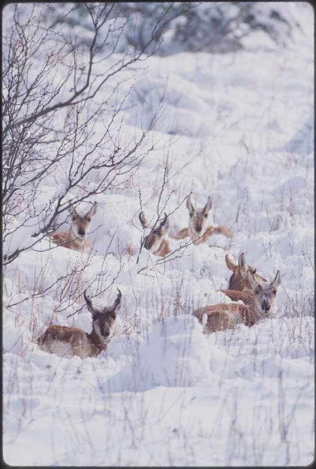 Antelope rest in Caprock. Photo: Wyman Meinzer, WYMAN MEINZER / FREELANCE RESTRICTED