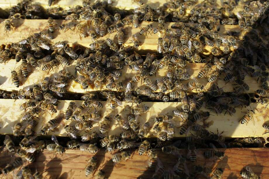 Honeybees, like these at a hive in an almond orchard near Turlock (Stanislaus County), are jeopardized by many factors beyond pesticides. Scientific assessment of those threats is needed to protect California's almond industry. Photo: Gosia Wozniacka, Associated Press