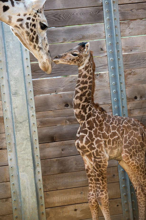 The Massai calf was born on Feb. 25. Photo: Houston Zoo