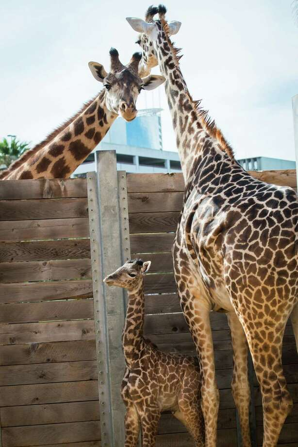 The Houston Zoos newest addition, a giraffe calf named Yao Ming, is in the fight of his life, zoo official said. The 25-day-old Massai calf underwent arthroscopic surgery on Thursday to remove infected bone from his right shoulder, said Zoo Director Rick Barongi.  Houston Zoo/Stephanie Adams Photo: Houston Zoo