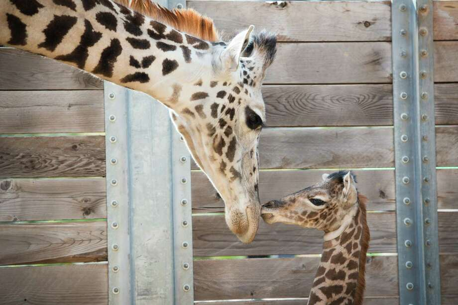 The tallest member of the Houston Zoo's nursery, a giraffe calf named Yao Ming, is in the fight of his life after surgery for a spreading infection, a zoo official said. Photo: Houston Zoo