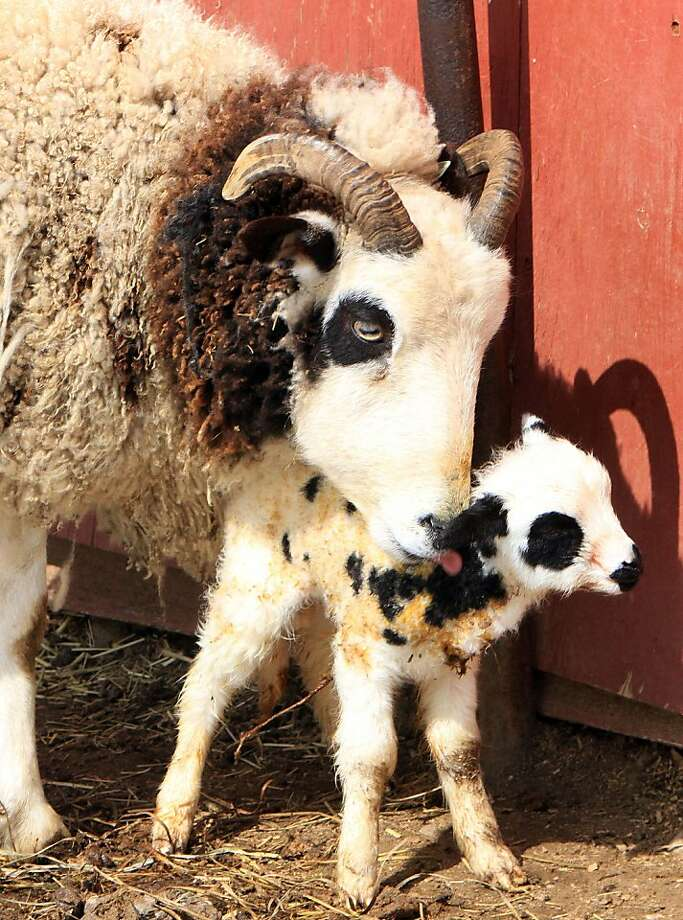 An hour after giving birth, a Jacob Sheep ewe cleans its already walking baby at Tilly Foster Farm in Southeast, N.Y. Photo: Frank Becerra Jr, Associated Press