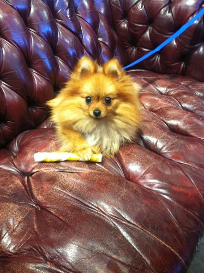 Archie, a 1-year-old Pomeranian service dog, disappeared along with his brown purse carrier Wednesday, March 20, 2013 on a BART train near Colma station.