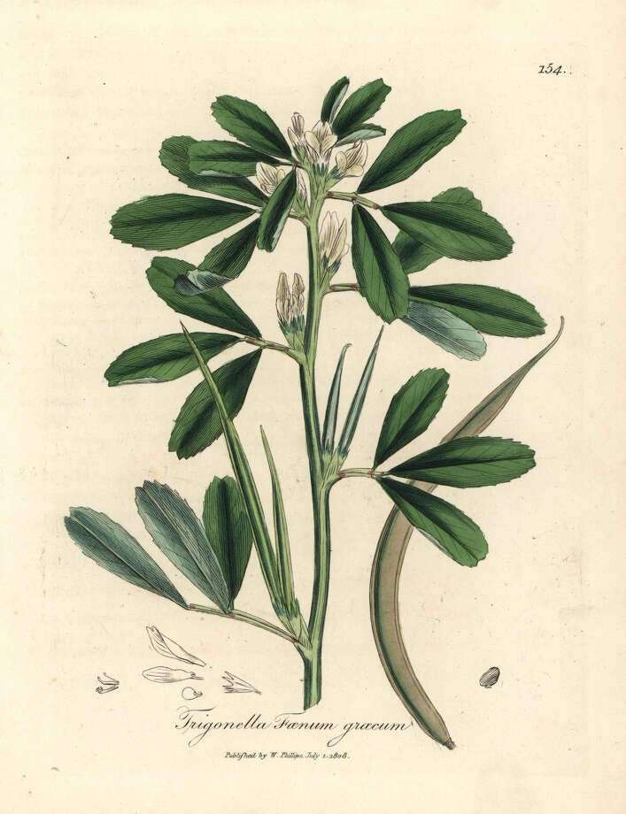 White flowered fenugreek with seed pod. The plant seems to control blood sugar. Photo: SSPL Via Getty Images