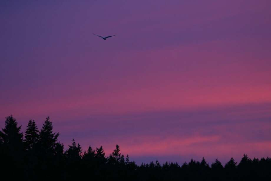 A seagull flies over a bay on Stuart Island during sunset. On Monday President Barack Obama will create a 955-acre national monument in the scenic San Juan Islands. We figured it was a time to show some photos from our state's treasure. (Joshua Trujillo, seattlepi.com)