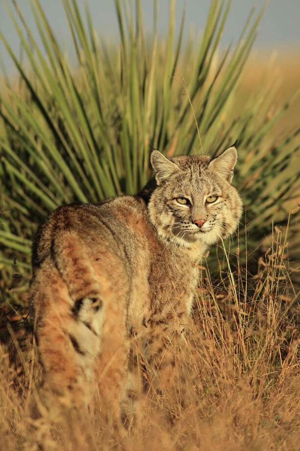 A bobcat is shown in this 2012 image in west Texas. (More: The state photographer has seen it all) Photo: Wyman Meinzer / © 2012 Wyman Meinzer