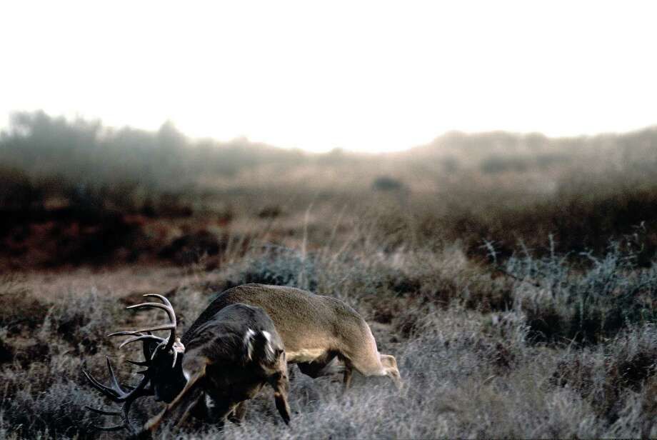 A pair of whitetail bucks are seen fighting in this 2004 image on the west Texas plains. (More: The state photographer has seen it all) Photo: Wyman Meinzer / © Wyman Meinzer
