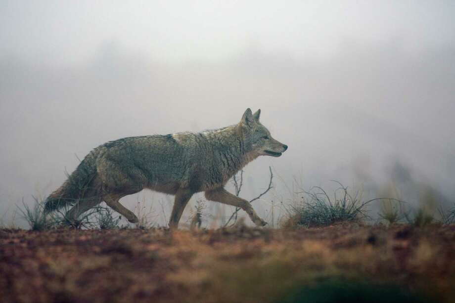 A coyote is seen trotting along a west Texas ranch in the fog in this Dec. 8, 2012 image. Photo: Wyman Meinzer / © 2012 Wyman Meinzer