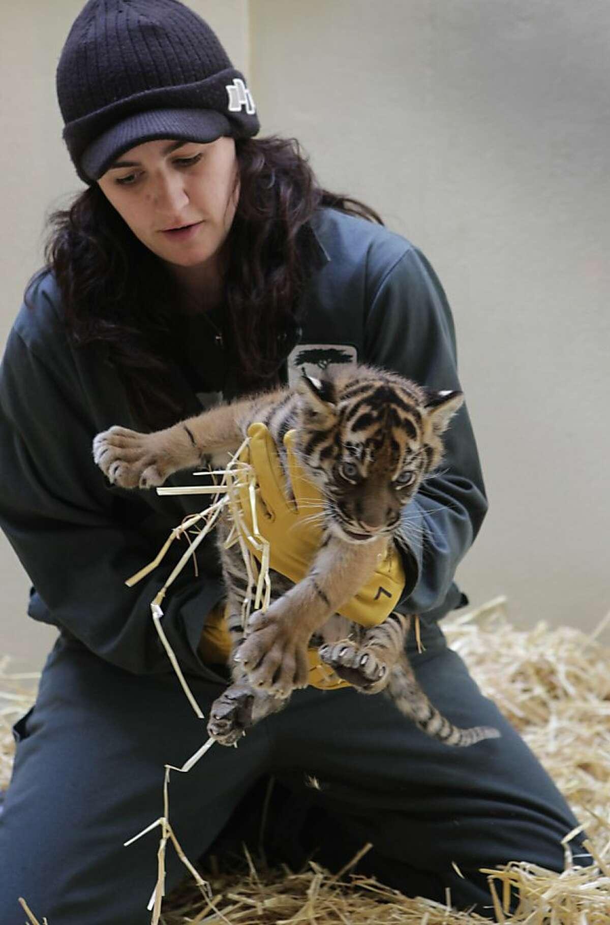 Amy Corso tends to a Sumatran tiger cub at the San Francisco Zoo in San Francisco, Calif.