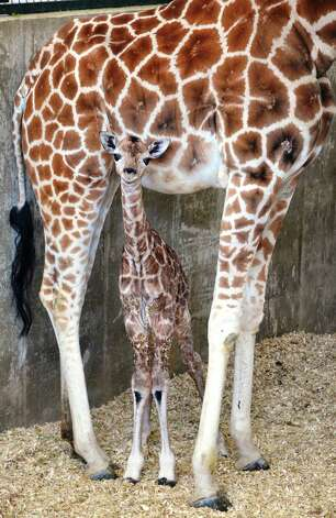 A newborn Rothschild giraffe, an endangered animal, walks under her mother after being born Friday, March 22, 2013, at the LEO Zoological Conservation Center in Greenwich, Conn. Photo: Contributed Photo