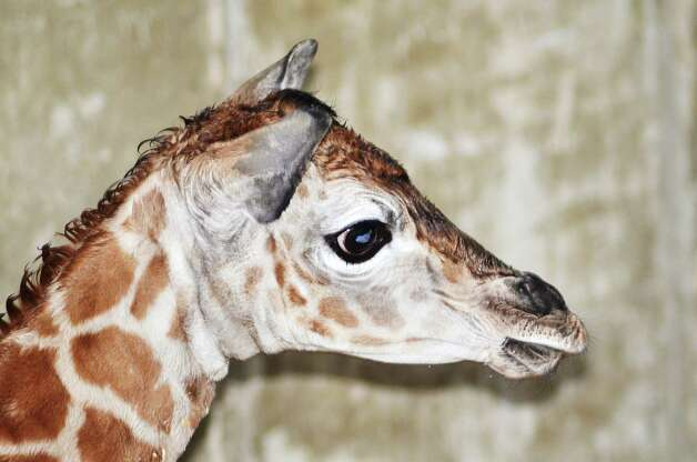 A newborn Rothschild giraffe, an endangered animal, rests after being born Friday, March 22, 2013, at the LEO Zoological Conservation Center in Greenwich, Conn. Photo: Contributed Photo
