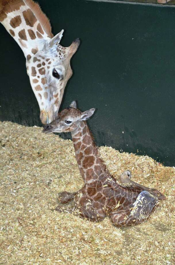 A mother Rothschild giraffe nuzzles with her newborn daughter after giving birth Friday, March 22, 2013, at the LEO Zoological Conservation Center in Greenwich, Conn. Photo: Contributed Photo