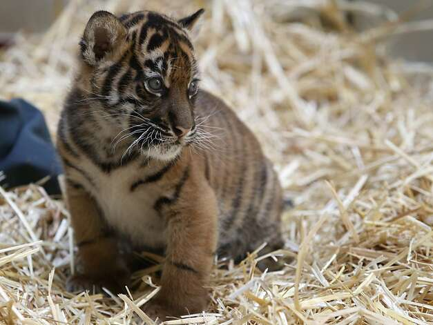 A Sumatran tiger cub explores her enclosure at the San Francisco Zoo in San Francisco, Calif. on Friday, March 22, 2013. The yet-to-be-named 5-week-old female cub makes her public debut Saturday with her mother, Leanne. Photo: Paul Chinn, The Chronicle