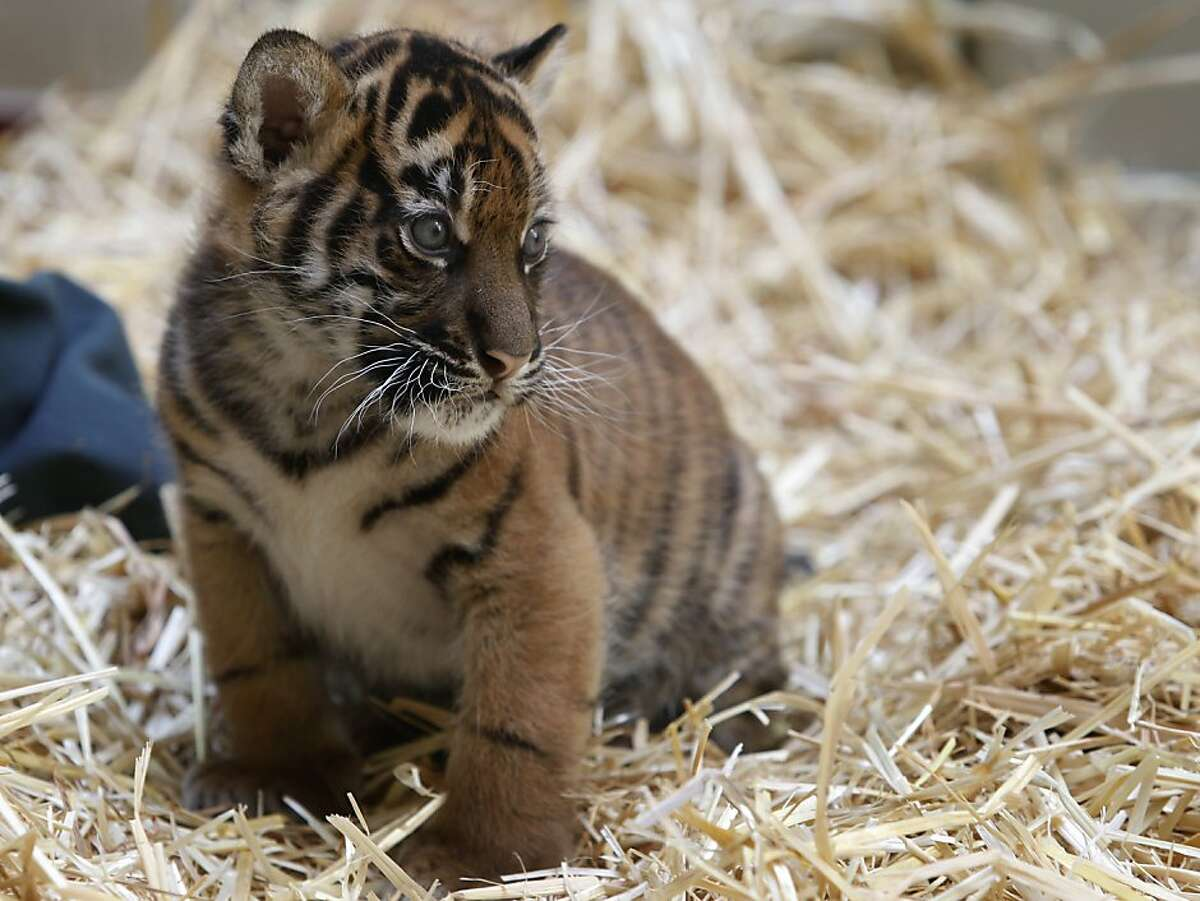 A Sumatran tiger cub explores her enclosure at the San Francisco Zoo in San Francisco, Calif. on Friday, March 22, 2013. The yet-to-be-named 5-week-old female cub makes her public debut Saturday with her mother, Leanne.