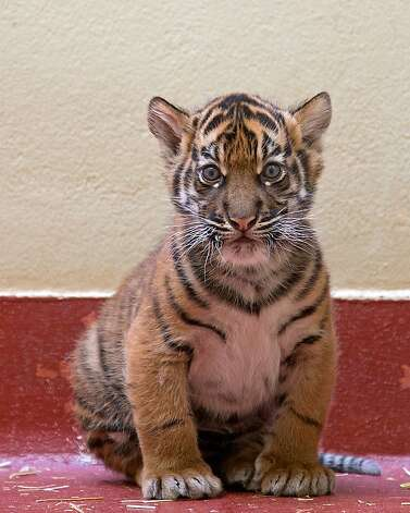 The tiger cub at the San Francisco Zoo. Photo: Marianne Hale, San Francisco Zoo Courtesy