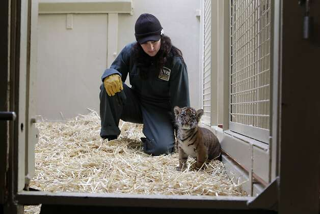 Amy Corso watches a Sumatran tiger cub explore its enclosure at the San Francisco Zoo. Photo: Paul Chinn, The Chronicle