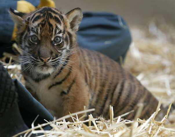 A Sumatran tiger cub explores her enclosure at the San Francisco Zoo. Photo: Paul Chinn, The Chronicle